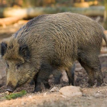 純種野豬前景比較廣闊 現在市場純種野豬多錢一頭 回農村創業