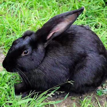 宠物兔小兔子活体 宠物兔价格多少