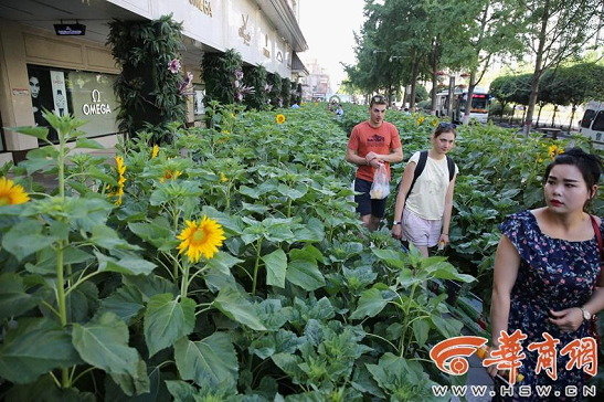 A Sea of Sunflowers Appeared on the South Street of Xi'an
